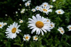 Chamomile for stress and sleep disorders