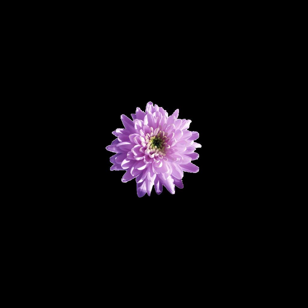 Chrysantheum In Tea
