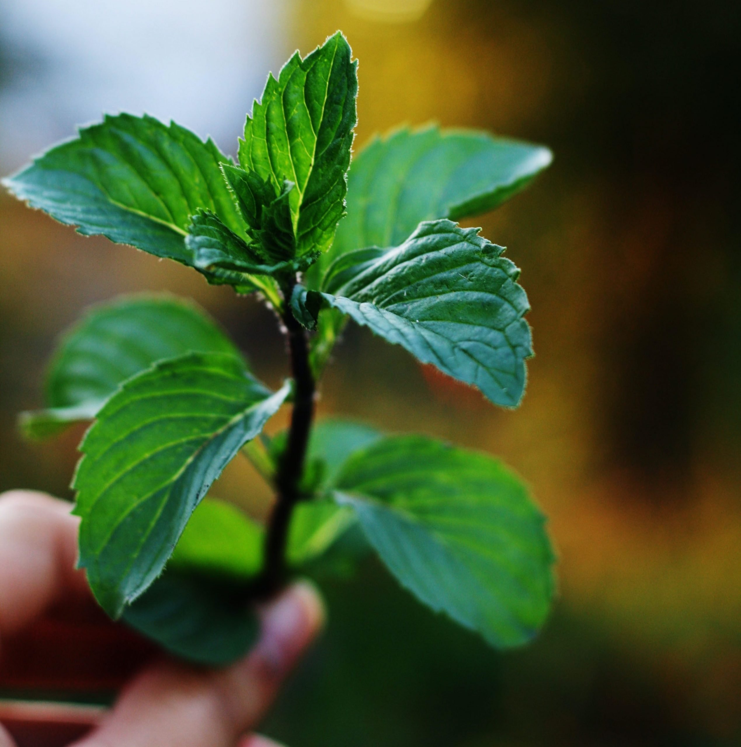 A hand holding a twig of spearmint for displaying spearmint leaves.
