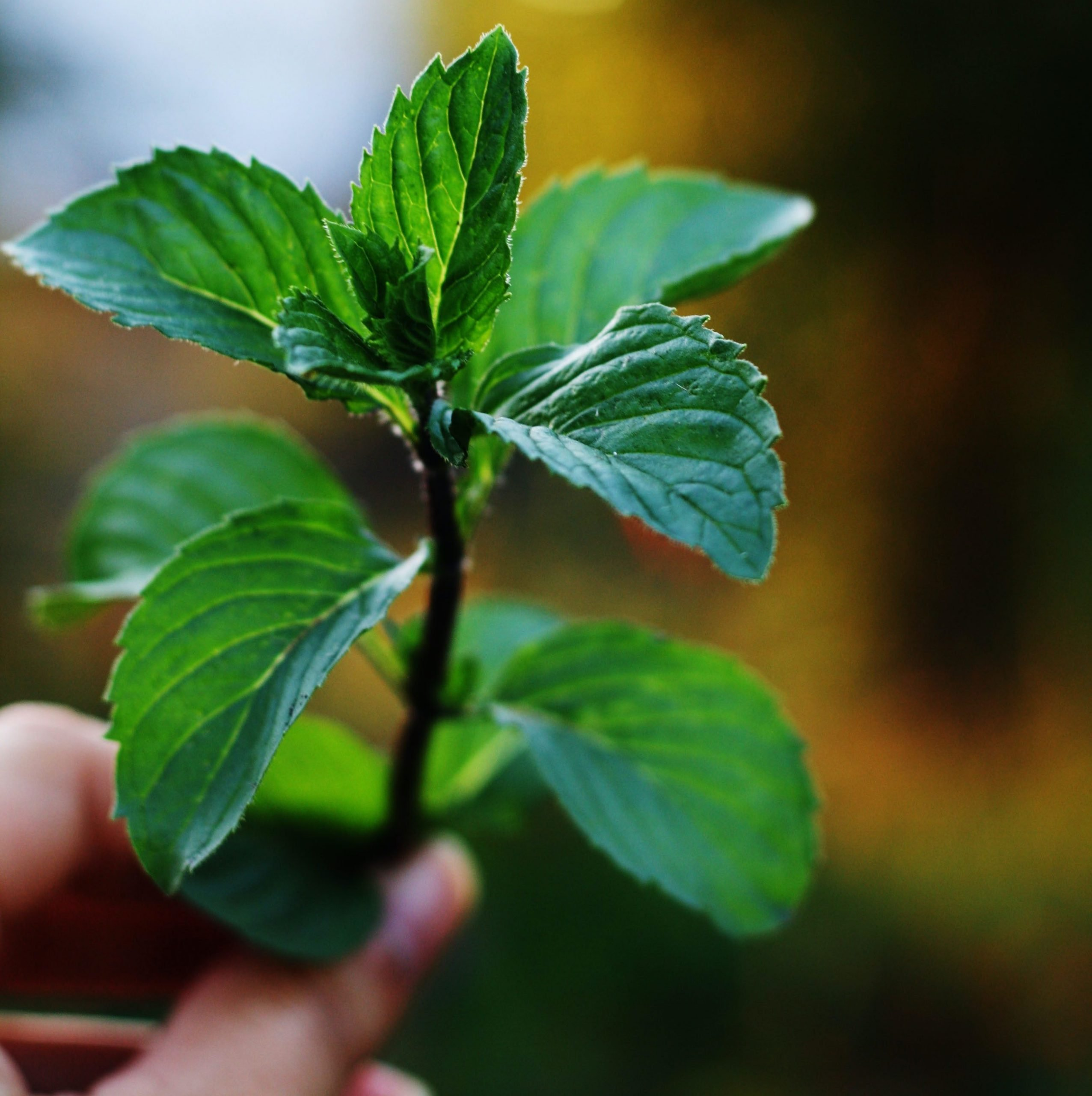 A twig of spearmint plant with spearmint leaves for demonstration.