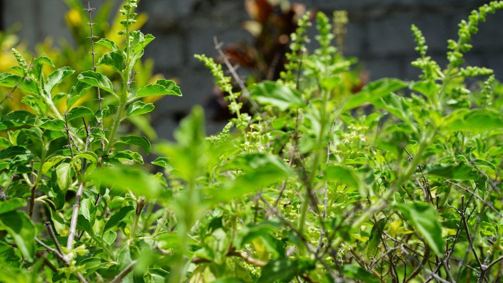 Tulsi- Holy Basil plant.